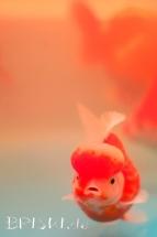 ein kleiner chinesischer Goldfisch in Pastellfarben
